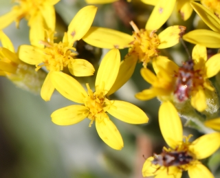 Hubertia tomentosa Bory.