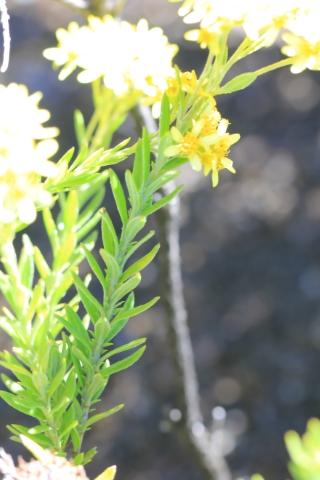 Hubertia tomentosa Bory var. conyzoides (Bory) C. Jeffrey.