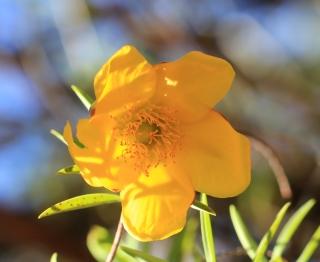 Hypericum lanceolatum Lam. subsp. lanceolatum.