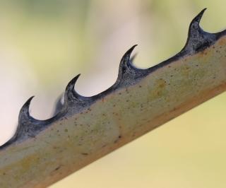 Hyphaene coriacea Gaertn.