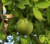 Aegle marmelos (L.) Corrêa Bael, Baël
