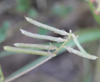 Indigofera diversifolia DC.