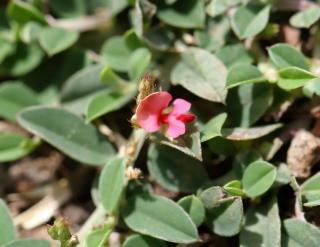 Indigofera linifolia. Fleur.