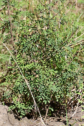 Indigofera suffruticosa Mill.