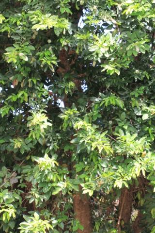Inga laurina (Sw.) Willd.