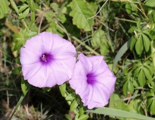 Ipomoea cairica (L.) Sweet.
