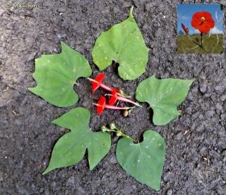Ipomoea hederifolia L. Ipomée à feuilles de lierre.