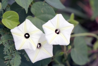 Ipomoea obscura (L.) Ker Gawl.