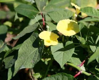 Ipomoea ochracea (Lindl.) G. Don.