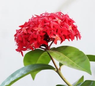 ixora coccinea l. ixora. hortensia du japon. flore de la réunion.