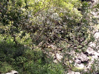 Syzygium jambos.