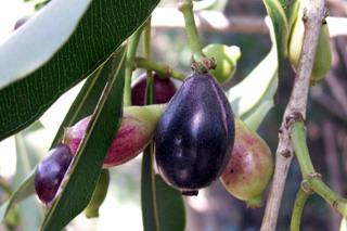 Syzygium cumini (L.) Skeels. Fruits : Jamblon ou jamelonier.