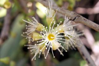 Syzygium cumini (L.) Skeels. Fleur : Jamblon ou jamelonie.