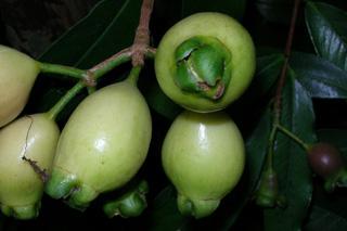 Jamrosat ou jambrosade - Syzygium jambos. Fruit flore de La Réunion.