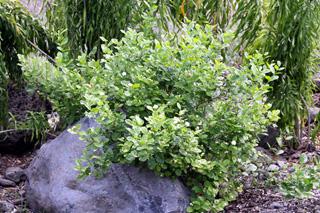 Jasminum sambac (L.) Aiton.