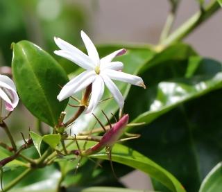 Jasminum multiflorum. Fleur.
