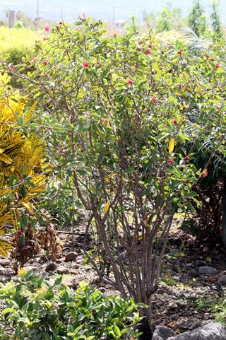 Jatropha fleur. Jatropha integerrima.
