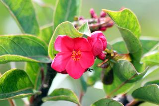 Fleur Jatropha integerrima.