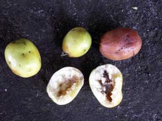 Ziziphus mauritiana Lam. Fruits.