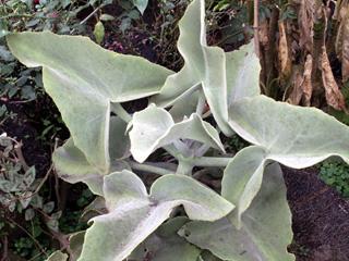 Kalanchoe à feuilles de chenes. kalanchoe beharensis.