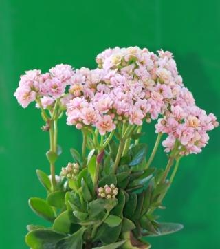 Kalanchoe blossfeldiana Poelln. Fleurs roses.