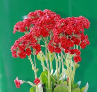 Kalanchoe blossfeldiana Poelln. Fleurs rouges.