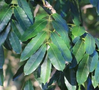 Khaya senegalensis. Acajou du Sénégal.