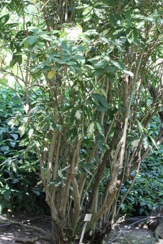 Graptophyllum pictum. Graptophylle peint. Lait de la Vierge.