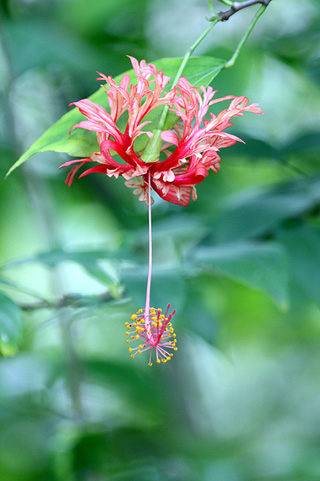 Hibiscus schizopetalus. Lanterne Japonaise.