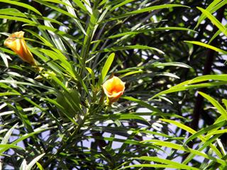 Thevetia peruviana (Pers.) K. Schum.