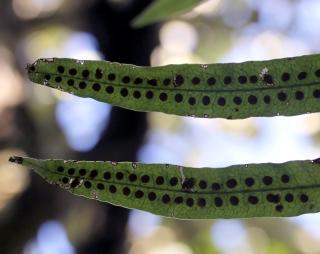 Lepisorus excavatus (Bory ex Willd.) Ching.