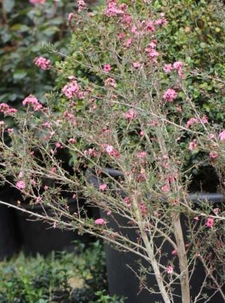 Leptospermum scoparium J.R.Forst. & G.Forst.
