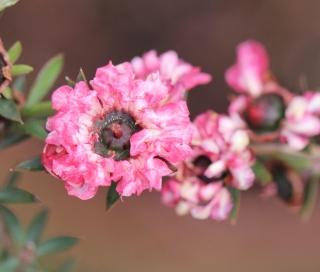 Fleur : Leptospermum scoparium J.R.Forst. & G.Forst.