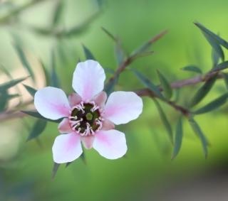 Leptospermum polygalifolium Salisb.