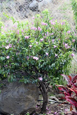 Cryptostegia grandiflora. Liane à caoutchouc.