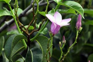 Fleur Cryptostegia grandiflora.