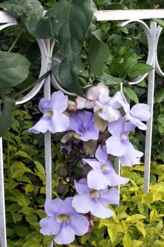 Liane de Chine, Liane mauve ou thunbergia à grandes fleurs. Thunbergia grandiflora.