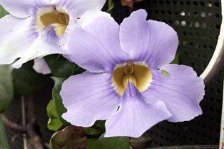 Fleur Liane de Chine, Liane mauve ou thunbergia à grandes fleurs. Thunbergia grandiflora.