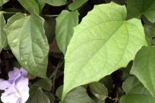 Feuilles Liane de Chine, Liane mauve ou thunbergia à grandes fleurs. Thunbergia grandiflora.