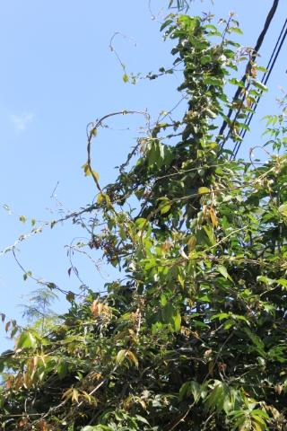 Hiptage benghalensis, Liane papillon