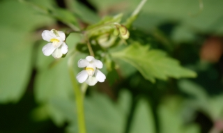 Cardiospermum halicacabum L. var. microcarpum (Kunth) Blume. Fleur.