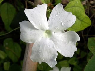 Fleur : Liane toupie. Thunbergia laevis.