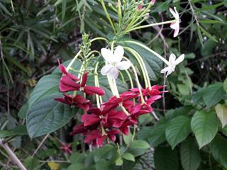 Combretum indicum (L.) DeFilipps.