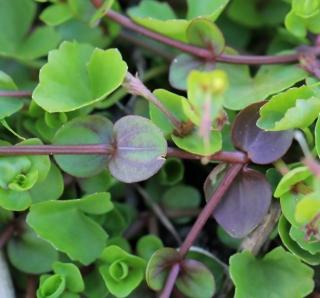 Lindernia rotundifolia.