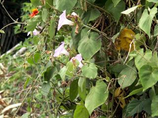 volubilis ou liseron - Ipomoea purpurea.