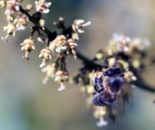 Litchi chinensis Sonn. Fleurs de Litchi.