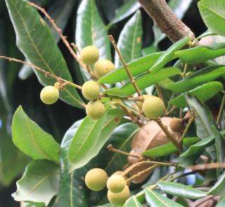 Dimocarpus longan Lour. Longani. longanier.