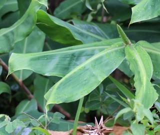 Hedychium gardnerianum. Longose.