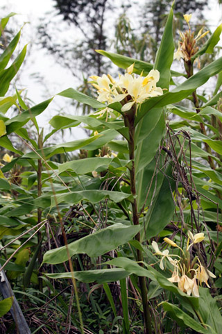 Hedychium flavescens. Longose jaune vanille.