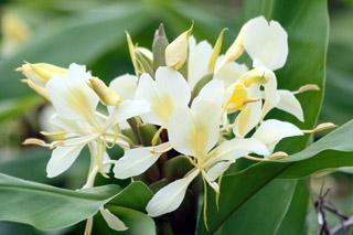 Fleur : Hedychium flavescens.